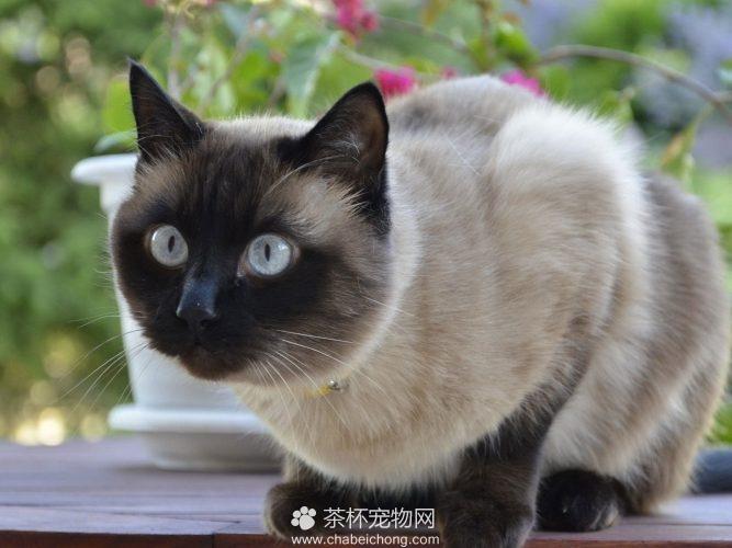 暹罗猫图片(三)
