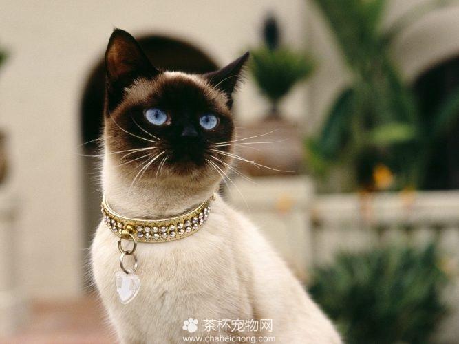 暹罗猫图片(四)