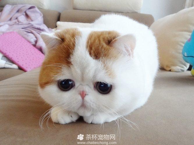 异国短毛猫 - 红小胖snoopy(一)