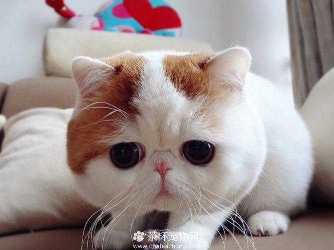 异国短毛猫 - 红小胖snoopy(二)