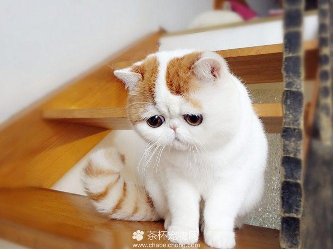 异国短毛猫 - 红小胖snoopy(三)
