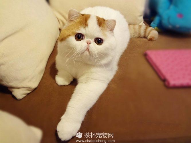 异国短毛猫 - 红小胖snoopy(四)