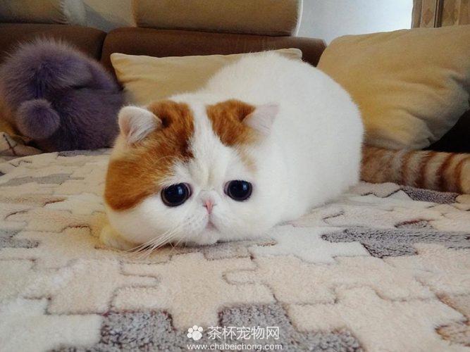 异国短毛猫 - 红小胖snoopy(五)