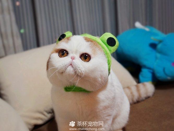 异国短毛猫 - 红小胖snoopy(六)