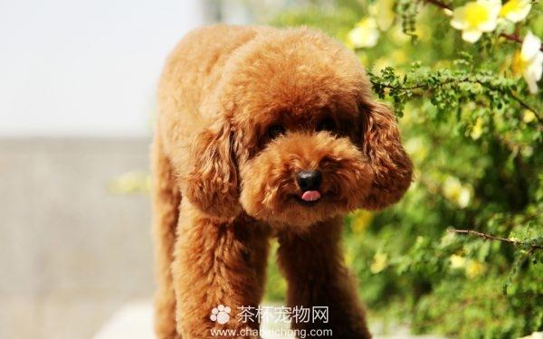 泰迪狗狗图片(二)