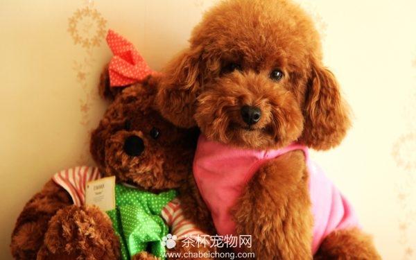 泰迪狗狗图片(三)