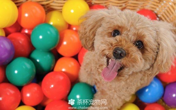泰迪狗狗图片(四)