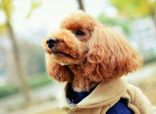泰迪熊贵宾犬图片