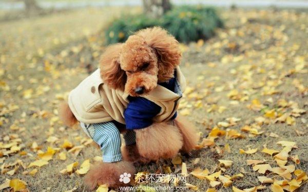 泰迪熊贵宾犬图片(二)