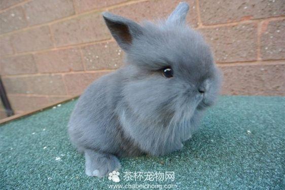 迷你兔(二)