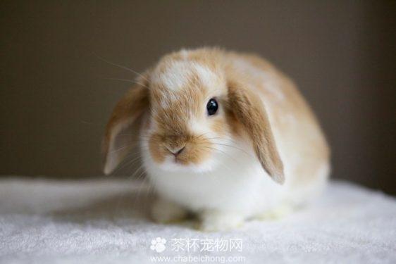 迷你兔(三)
