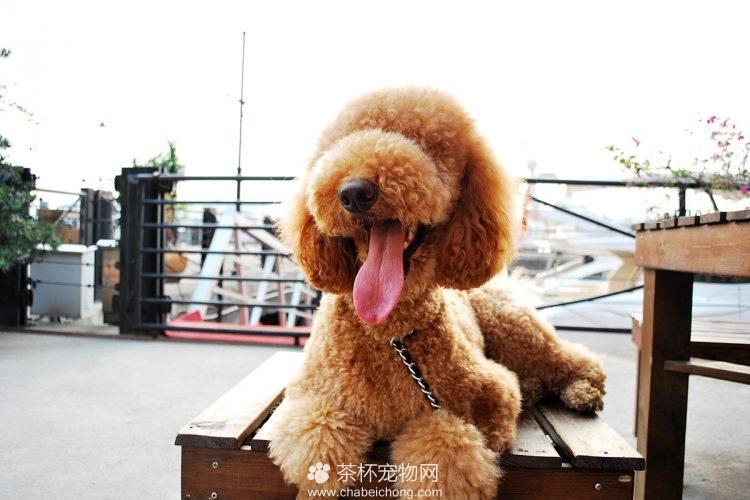 白色巨型贵宾犬价格_巨型贵宾犬图片大全 - 茶杯宠物网