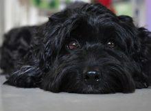 黑色贵宾犬图片