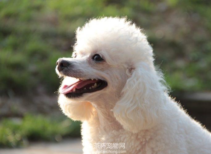 白色贵宾犬图片