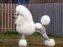 贵宾犬造型图片