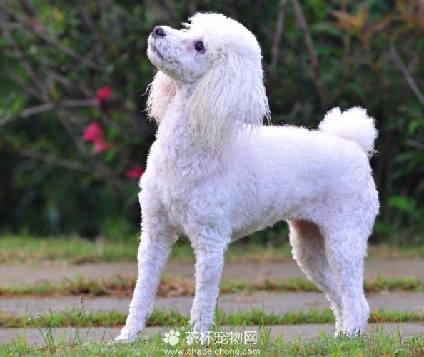 贵宾犬造型图片(三)