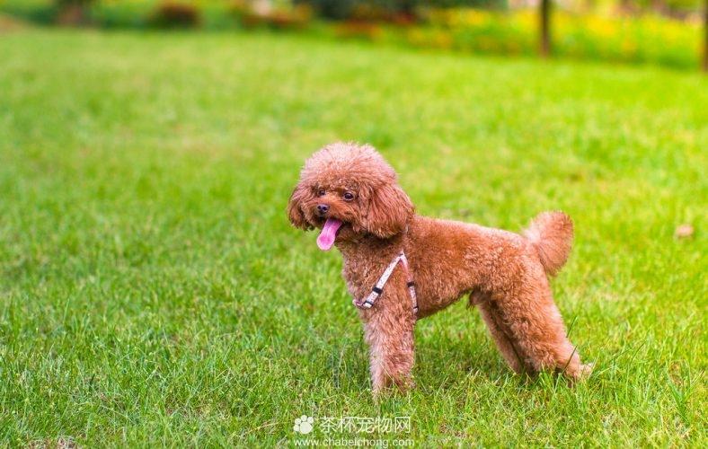 宠物狗贵宾图片(三)