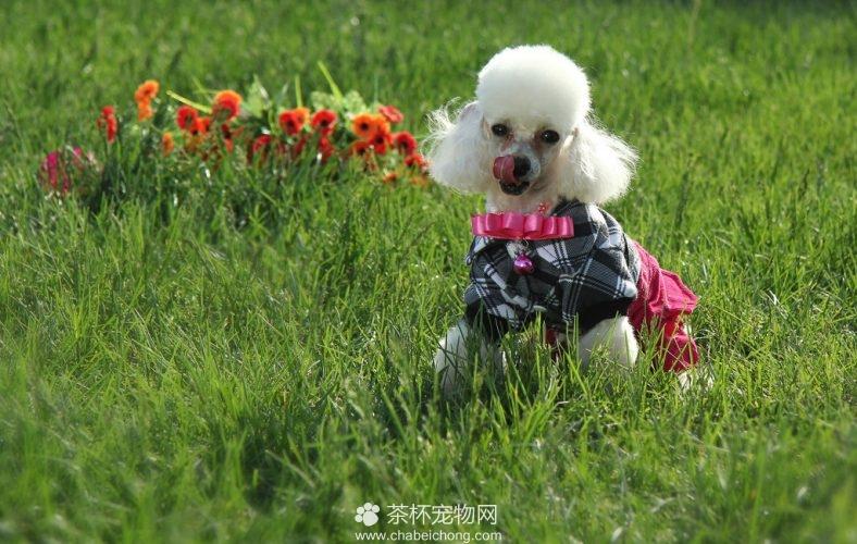宠物狗贵宾图片(二)