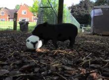 玩足球的小香猪