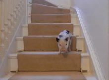 小香猪下楼梯