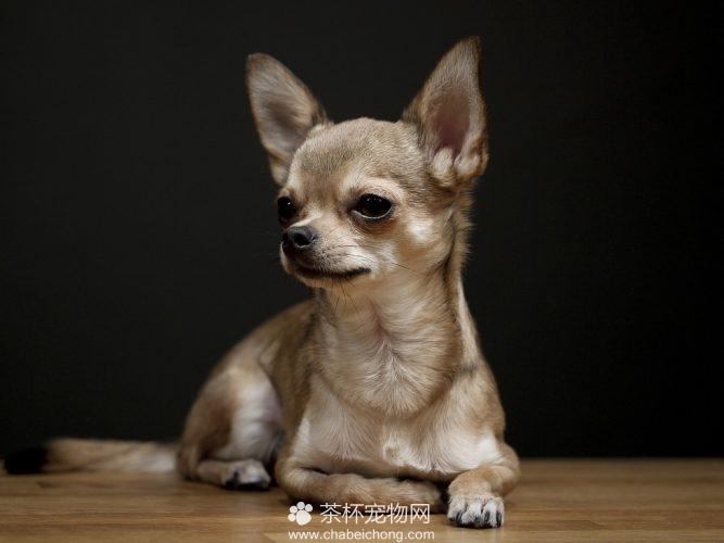 吉娃娃狗图片(二)