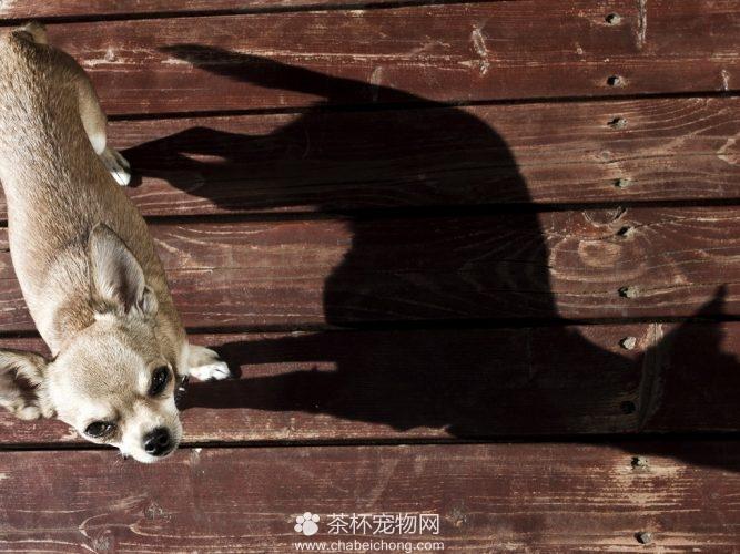 吉娃娃狗图片(三 )