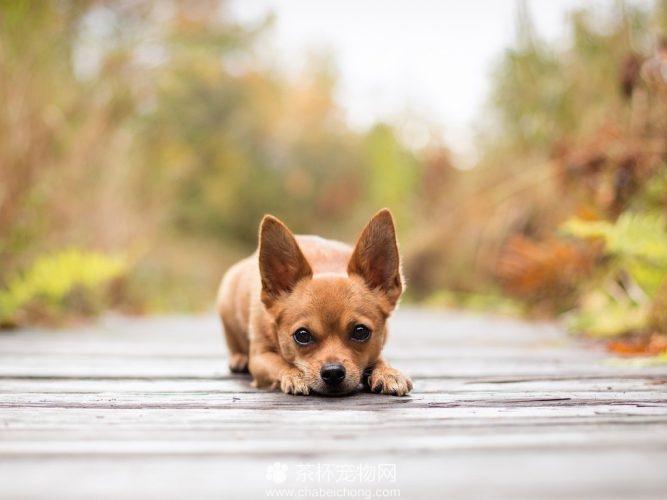 吉娃娃狗图片(四)