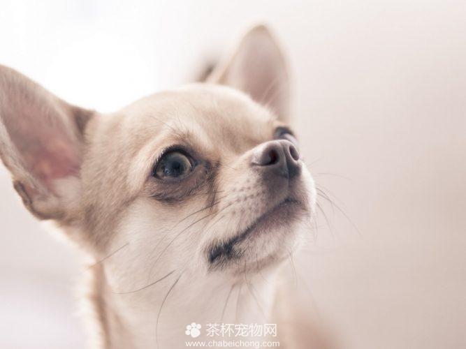 吉娃娃狗图片(五)