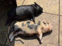 小香猪晒太阳