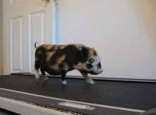 小香猪在跑步机跑步