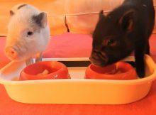 两个小香猪