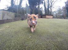小香猪奔跑