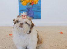 茶杯犬与鲜花