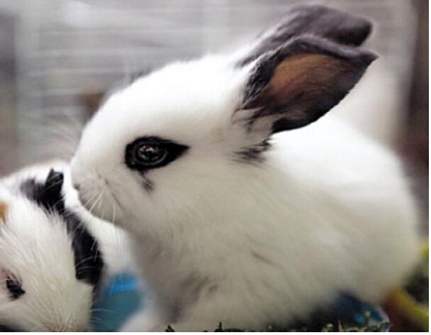侏儒海棠兔
