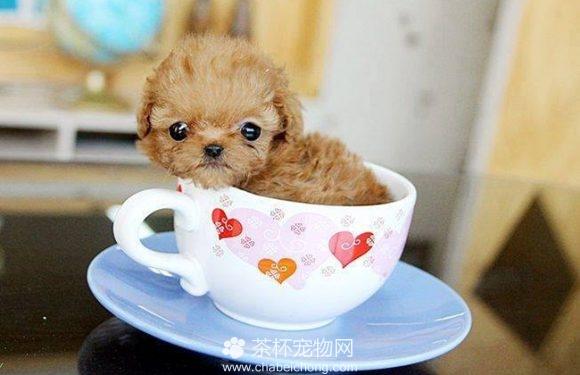 茶杯狗图片(四)