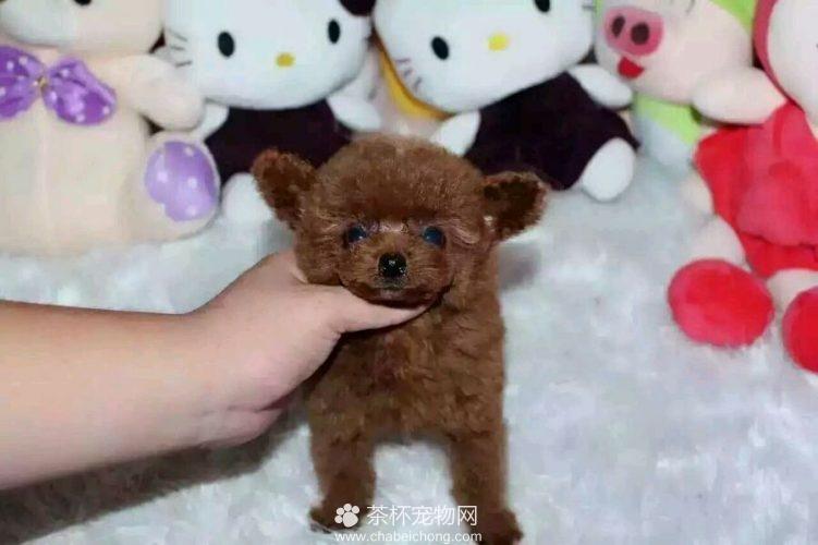 飞耳茶杯犬