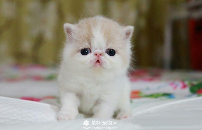 加菲猫幼崽