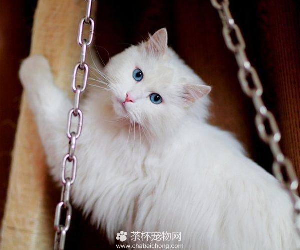 山东狮子猫图片