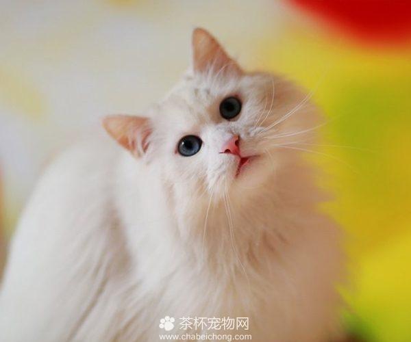 山东狮子猫图片(二)
