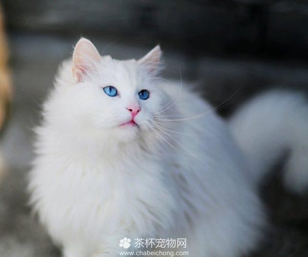 山东狮子猫图片(三)