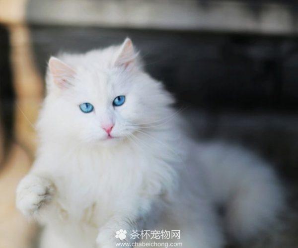 山东狮子猫图片(四)