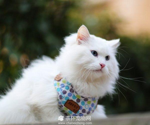 山东狮子猫图片(五)