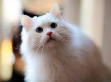 山东狮子猫图片(六)