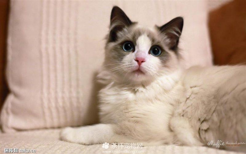 世界上最美的布偶猫(二)