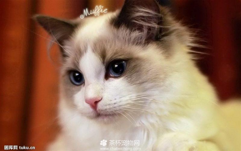 世界上最美的布偶猫(三)
