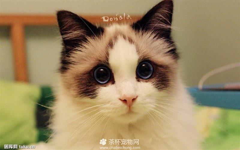 世界上最美的布偶猫(五)
