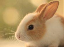 兔子的种类