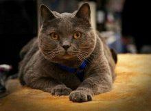 成年夏特尔猫