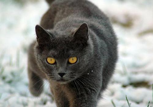 成年夏特尔猫(二)