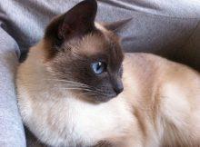 忠诚的暹罗猫